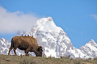 Birds gazing at the Grand Tetons from the back of a bison as if they were a bunch of tourists on a bus.<br />