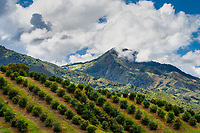 Avocado trees are seen growing at a farm on the mountainside near Sonsón, Antioquia department, Colombia, 23 October 2019. Over the past decade, the Colombian avocado industry has experienced massive growth, both as a result of general economic development in Colombia, and the increased global demand for so-called superfood products. The geographical and climate conditions in Antioquia (high altitude, no seasonal extremes, high precipitation rate) allow two harvest windows of the Hass avocado variety across the year. Although the majority of the Colombian avocado exports are destined towards Europe now, Colombia aspires to become one of the major avocado suppliers to the U.S. market in the near future.