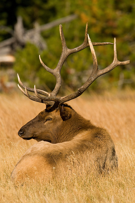 A tired bull elk takes a break, Yellowstone National Park, Sept 26, 2007.  The bull is tired from keeping his harem together and fending off other bulls.  His antlers have several broken tines, most likely sustained in battles with other bulls.  Photo by Gus Curtis