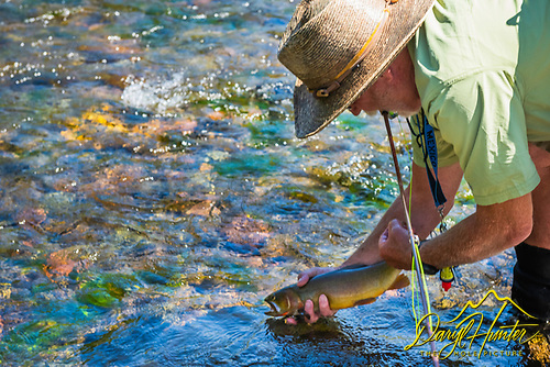 Fly-fisherman relaeasing a cutthorat trout on a Absaroka Mountain trout stream.