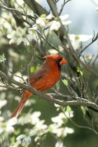 Male northern cardinal, Cardinal cardinalis, perched on branch of flowering white dogwood, Conus florida