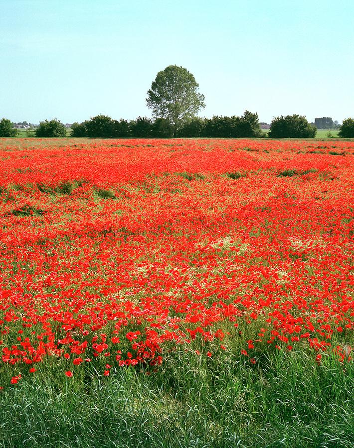 Field of poppies near Parma, Italy