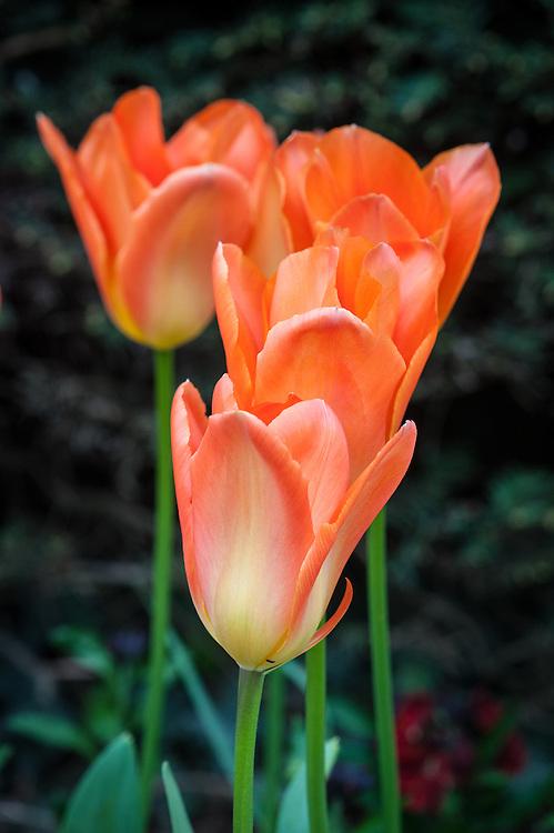 Tulipa 'General de Wet' (Single Early Group), mid April.