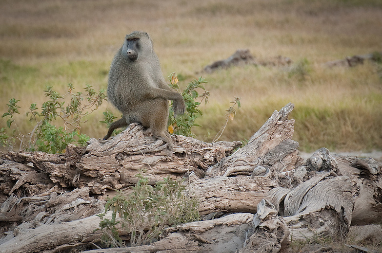 One of the largest of the baboon males are known to even challenge attacking leopard. Female dominance is hereditary, with daughters having nearly the same rank as their mothers and adult females forming the core of the social system. Males establish their dominance more forcefully as they try to bully other males and cow them into obedience. Fights are not uncommon between males.