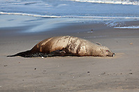 A sub-adult, male Steller sea lion lies dead in the sand at Pomponio State Beach.  A Marine Mammal Center examination found the cause of death to be 'undetermined' - another one of many unexpalined Steller sea lion deaths.  The Steller sea lion is listed as a threatened/endangered species.