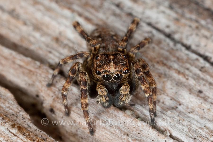 Vierpunktspringspinne, Vierpunkt-Springspinne, Springspinne, Männchen, Sitticus pubescens, jumping spider, Salticidae, Springspinnen
