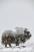 Muskox with snow covered qiviut stands on the snowy tundra of Alaska's arctic north slope.