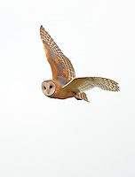 A barn owl flies over a marshland in search of mice and voles, its primary prey.<br />