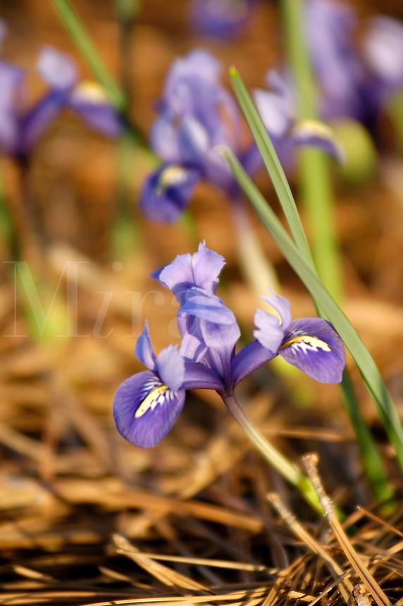 Mini Iris in pine straw in North Carolina in the spring.