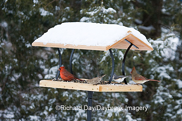 00585-037.08 Northern Cardinals,  Tufted Titmouse & House Finch on platform tray feeder, Marion Co. IL
