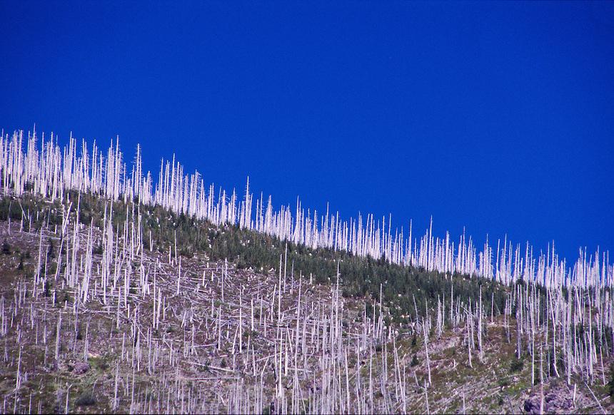 Standing Dead Trees from 1980 Eruption near Windy Ridge, Mt. St. Helens National Volcanic Monument, Washington, US, July 2004