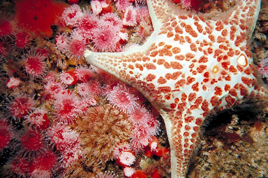 Piaster sea star on Corynactis anemones in underwater setting. Carmel California, underwater.