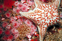 Piaster sea star on Corynactis anemones in underwater setting. Carmel California, underwater.
