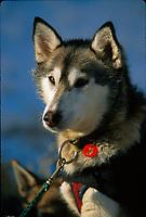 L Fiedler's Dog Weasel in Sun McGrath Iditarod 99 AK