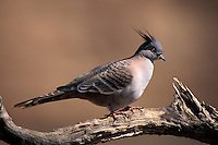 Crested Pigeon, Ocyphaps lophotes, Australia