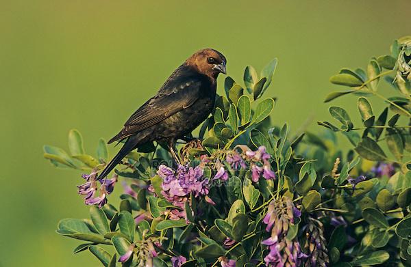 Brown-headed Cowbird, Molothrus ater,male on blooming Texas Mountain Laurel (Sophora secundiflora), Lake Corpus Christi, Texas, USA