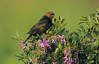 Brown-headed Cowbird, Molothrus ater,male on blooming Texas Mountain Laurel (Sophora secundiflora), Lake Corpus Christi, Texas, USA