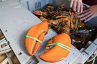 Mark Barlow, the co-owner of Island Seafood, a lobster dealer in Eliot, Maine, USA, displays lobsters that are ready for packing at Island Seafood's receiving facility on Wed., Jan. 31, 2018.