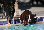 Minion dives for a ball during the 10th annual Pooch Plunge at the Carson City Aquatics Center, in Carson City, Nev., on Saturday, Sept. 22, 2018. The event is a fundraiser for the Carson Animal Services Initiative which supports Nevada Humane Society services in Carson City.<br /> Photo by Cathleen Allison/Nevada Momentum