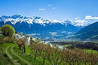 Italy, South Tyrol (Trentino - Alto Adige), Val Venosta, above Sluderno: irrigation at blossom time and Ortler Alps   Italien, Suedtirol (Trentino - Alto Adige), Vischgau, oberhalb Schluderns: Obstbaumbluete, Bewaesserung und Ortler-Alpen