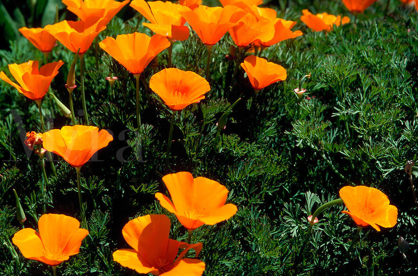 Close up of California Poppy flowers - popular in xeriscape gardening.