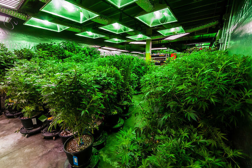 The Green Mile is a 150 foot long room where pot plants are kept in their vegetative stage. The plants receive 18-24 hours of light per day. The plants are in a growing stage, not flowering. Clippings are taken to create the next generation of plants. Medicine Man Denver is the single largest legal medical and recreational marijuana dispensary in Denver, Colorado USA. Their 20,000 sq. ft. facility will soon double in size. Radio frequency ID tags and 65 video cameras allow the State of Colorado to track inventory through the growing process and all plant weight is accounted for. Medicine Man won the High Times' Cannabis Cup for best sativa (Jack Herer). 20-30 strains are available for sale daily.