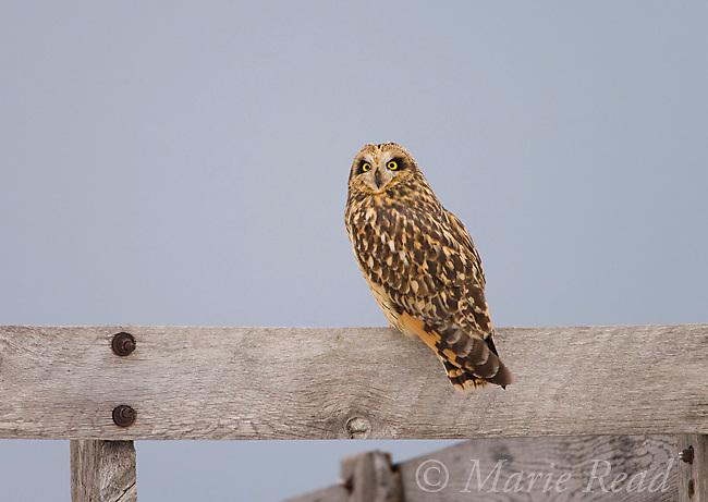 Short-eared Owl (Asio flammeus), Ithaca, New York, USA