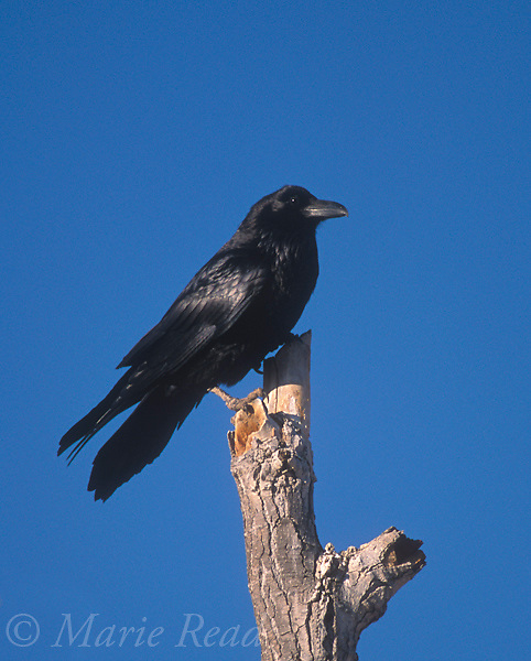 Common Raven (Corvus corax) adult, Bosque Del Apache National Wildlife Refuge, New Mexico, USA<br /> Slide # B117-809