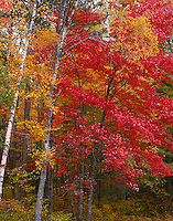 Vilas County, WI<br /> A maple with brilliant red foliage and birches with yellow foliage in autumn near Plum Lake in Northern Highland American Legion State Forest