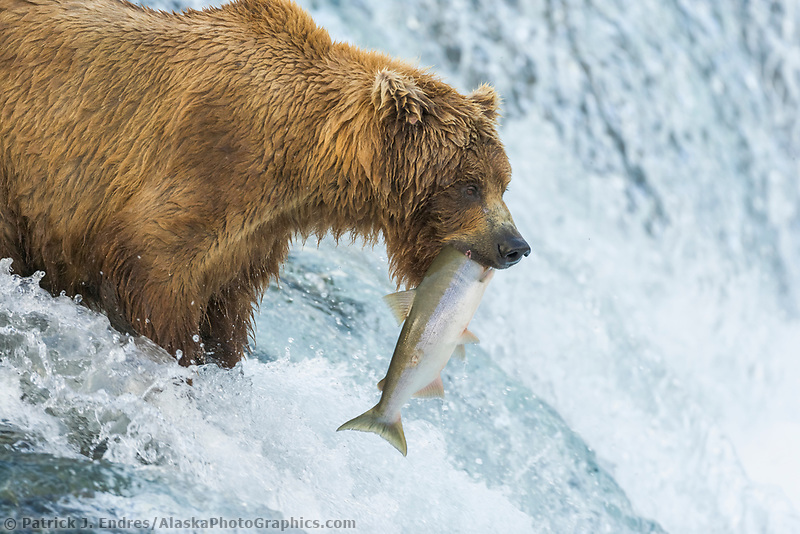 Brown bear fishes for Red Salmon at the Falls of the Brooks River, Katmai National Park, Alaska