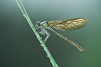 Banded Demoiselle (Calopteryx splendens), female perched  dew covered, Zug, Switzerland