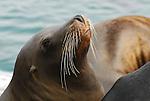CA sea lion