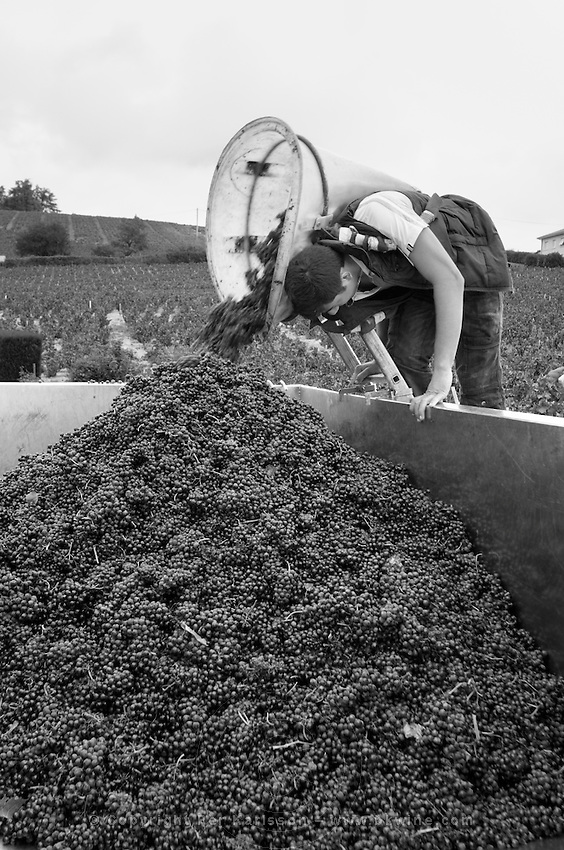 Carrying grapes in a basket. Gamay. Domaine Tracot & Dubost, Beaujolais, France