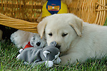Yellow Labrador retriever (AKC) puppy playing with stuffed animals
