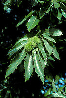 Sweet Chestnut Castanea sativa Fagaceae Height to 35m <br /> Deciduous tree with fine bole. Bark Silvery and smooth at first, spirally fissured and grooved with age. Branches Lowest branches spreading, upper ones ascending. Leaves Glossy, to 25cm long, lanceolate and toothed. Reproductive parts Male catkins creamy and pendulous. Female flowers green and erect, at base of male catkins; spiny green fruits contain 3 brown nuts. Status Native of mainland Europe, planted here since Roman times.