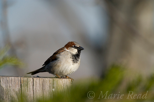House Sparrow (Passer domesticus) male, Canastota, New York, USA. Introduced species.
