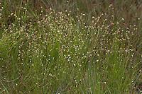 Weißes Schnabelried, Weiße Schnabelbinse, Rhynchospora alba, White beak-sedge, White beaksedge, White beak sedge, White beak-rush