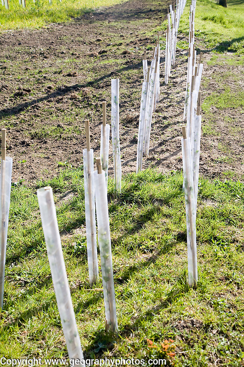 Planting new hedgerow with tree saplings growing in protective plastic tubes