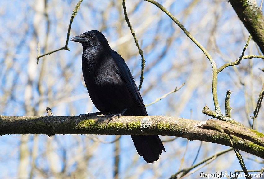 Carrion Crow perched in a tree, Leighton Moss, Lancashire.