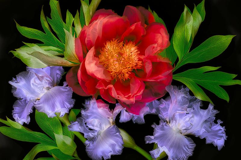 Close up of red peony and purple iris. Oregon