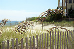 The fruiting heads of sea oats incline in a graceful curve.  Sea oats is one of the few plants capable of stabilizing active dunes.