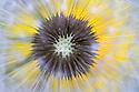 Dandelion {Taraxacum officinale} seedhead or 'clock', Nordtirol, Austian Alps. June.