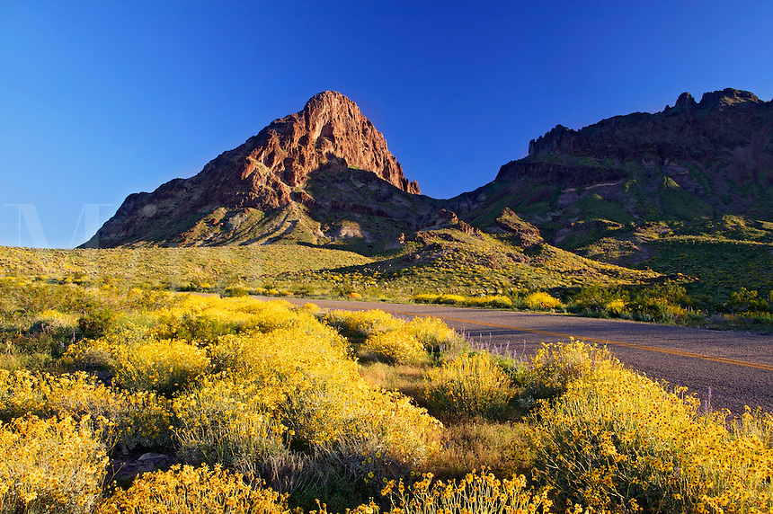 Wildflowers along Route 66, near Oatman, Black Mountains, Arizona.