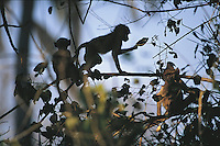 Vervet monkeys, which are common and widely distributed in southern Africa, live in large troupes and interreact continuously during their waking hours. Here, some young ones in Chitabe, Botswana, play with leaves.