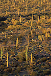 Morning light on a saguaro forest, Organ Pipe Cactus National Monument, Arizona