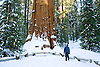 THE GENERAL SHERMAN TREE, THE OLDEST LIVING ORGANISM IN THE WORLD,  WITH A WIDTH OF 36 FEET, AT SEQUOIA NATIONAL PARK, CALIFORNIA