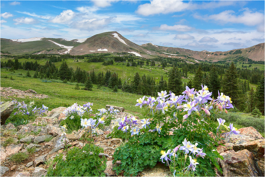 High atop the Rocky Mountains near the Continental Divide, you can find a copious amount of Coloardo wildflowers. At one of my favorite places for photographing these colorful landscapes, Butler Gulch, there are meadows filled with paintbrush, pink elephants, daisies, and more. But on the rocky ledges that surround the meadow, the state flower of Colorado, the Columbine, can be found. This image of columbine was taken in the morning as clouds moved overhead, creating the perfect filter and allowing soft light across the entire vista.