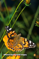 "03406-01006 Painted Lady  butterfly (Vanessa cardui) on Orange Cosmos (Cosmos sulphureus ""Bright Lights"")  Marion Co.  IL"