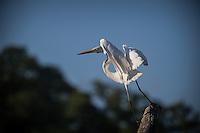 Garça-branca-grande<br /> <br /> Litoral do Pará, foz o Amazonas.A garça-branca-grande (Ardea alba, sinônimo Casmerodius albus), também conhecida apenas como garça-branca, é uma ave da ordem Pelecaniformes. É comum à beira dos lagos, rios e banhados. Foi muito caçada para a retirada de egretas - penas especiais que se formam no período reprodutivo - para a indústria de chapéus para mulheres.<br /> São Caetano de Odivelas, Pará, Brasil<br /> Foto Carlos Borges