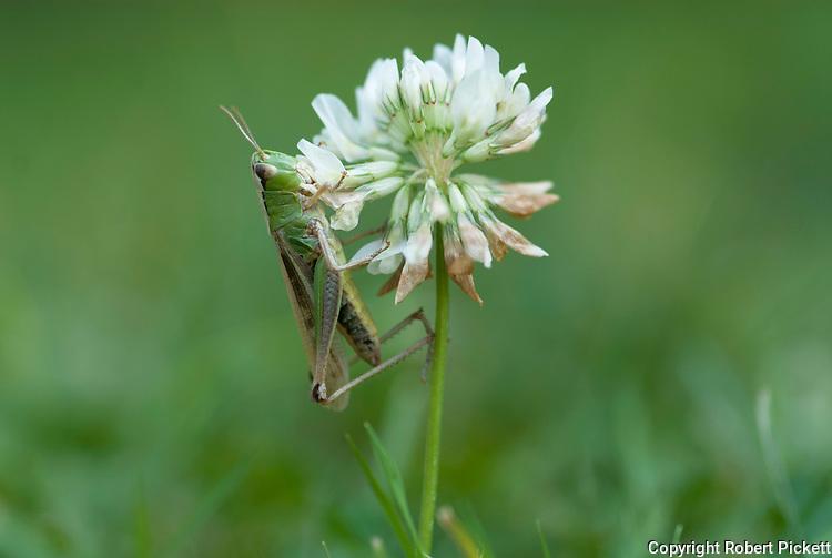 Common Green Grasshopper, Omocestes viridulus, male, on clover flower in grassland habitat, garden